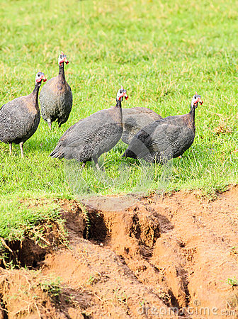 Guineafowl (Numida meleagris) walking