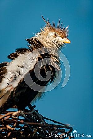 Guira Cuckoo on its twig nest.