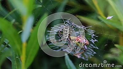 Gul netto spindellåsgräshoppa på stock video