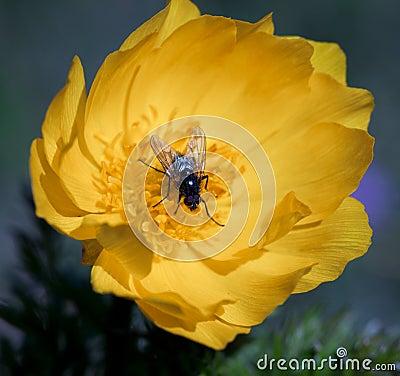 Gula blommor av adonis