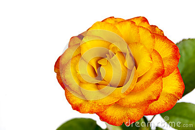 Gula och röda Rose Isolated