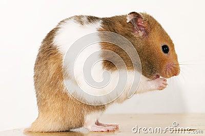Guld- hamster