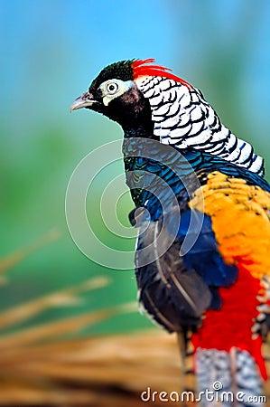 Guld- Pheasant