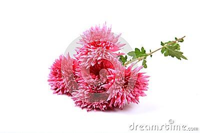 Guldaudi flowers