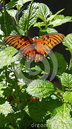 Free Gulf Fritillary Butterfly Royalty Free Stock Photography - 75314347
