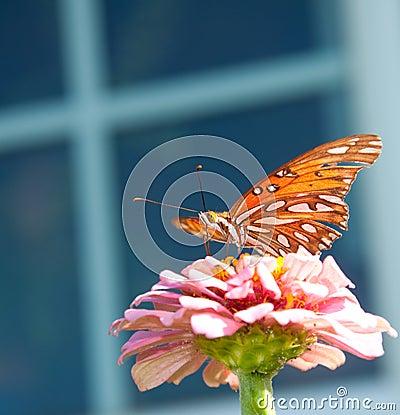 Gulf Fritillary butterfly on a pink Zinnia