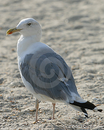Free Gull Stock Photos - 13240913