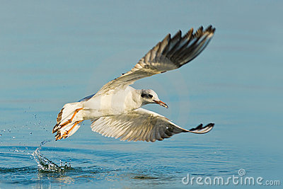 Gull in action