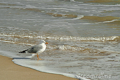 Gull in the beach