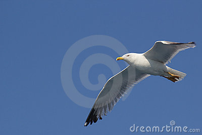 Gull in blue sky