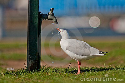 Gull drinking from a dripping tap/faucet