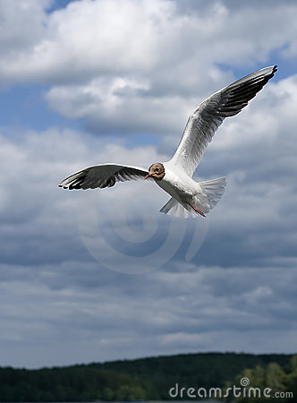 Gull Flight