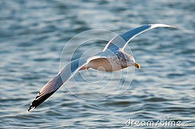 Gull flight above waves