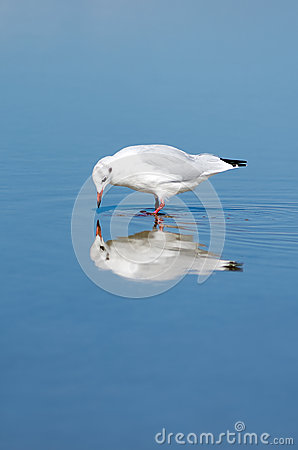 Free Gull In The Water Stock Photography - 34056122