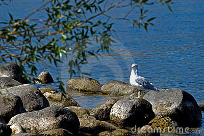 Seagull bird on rocks