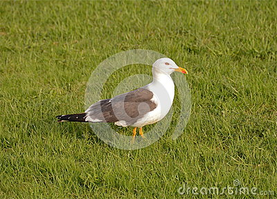 The gull Larus fuscus