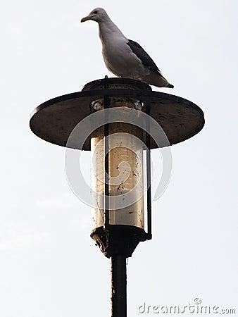 Gull on Post