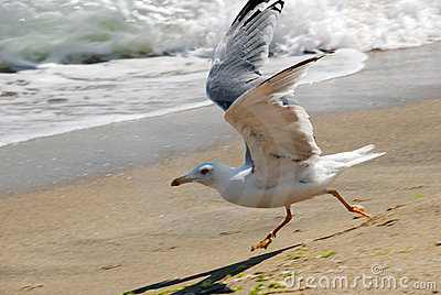 A gull running along a seashore
