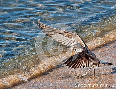 Gull Shouting at the sea