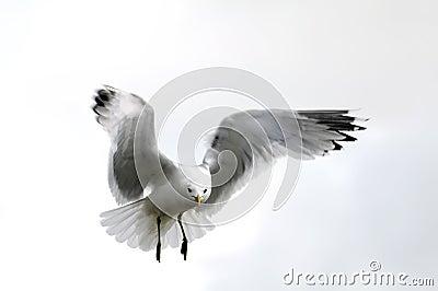 Gull in sky