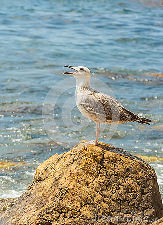 Gull standing on a Stone