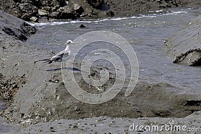 Gull stands in mud.