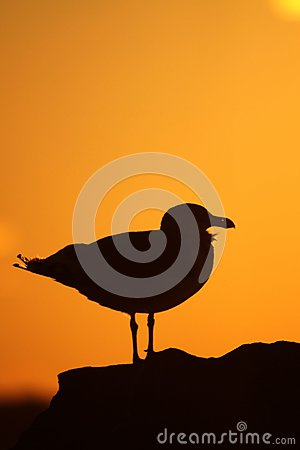 Gull at sunset