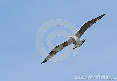 Gull, Wings Spread in Flight