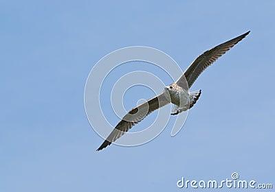 Gull, Wings Spread in Flight