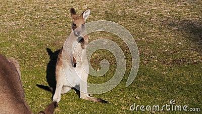 Gullig ung känguru