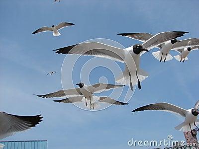 Gulls flying fast