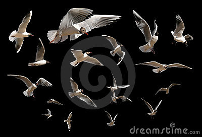 Gulls isolated on black