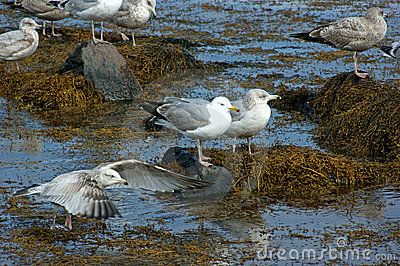 Gulls on seaweed and rocks