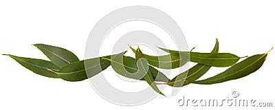 Gum Leaves Border