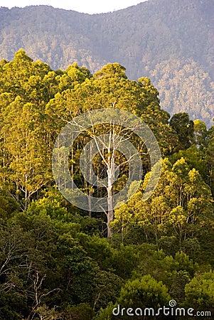 Gum tree bush mountains