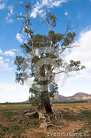 Gum Tree (Eucalyptus camaldulensis), Australia