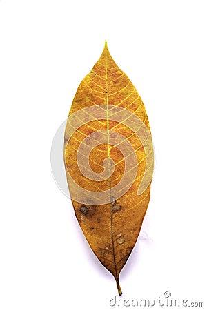 Guma liście