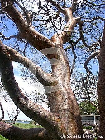 Gumbo-Überhangsbaum