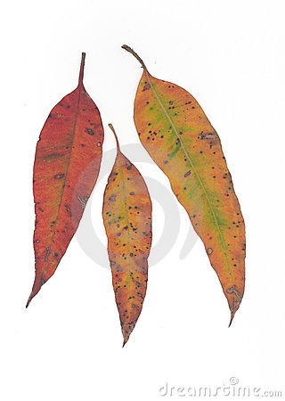 Free Gumleaf Fall Stock Image - 56671