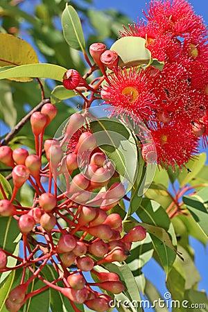 Gumnut Flowers