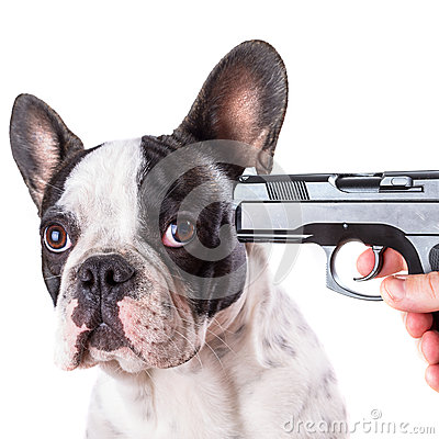 Gun pointed at sad french bulldog head