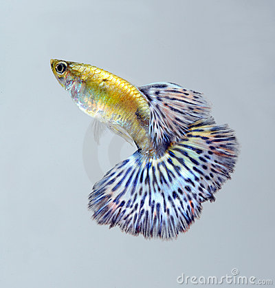 Guppy pet fish swimming