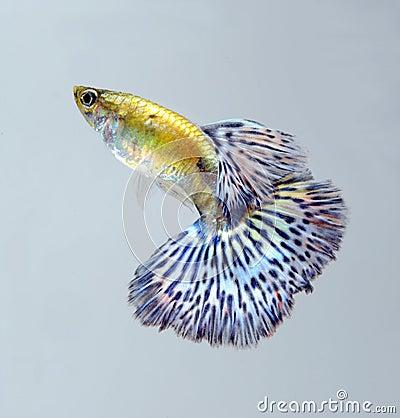 Guppy pet fish swimming