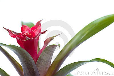 Guzmania flower closeup