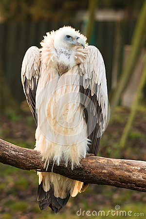 Free Gyps Himalayensis, Vulture Royalty Free Stock Images - 105651239