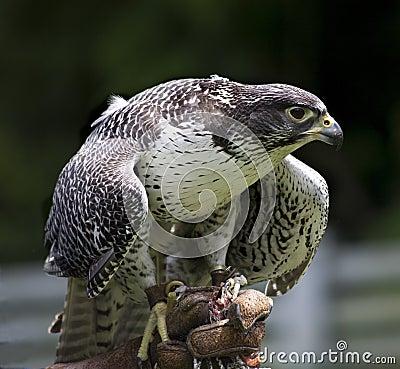 Free Gyr Falcon Falco Rusticolus Stock Image - 6794911