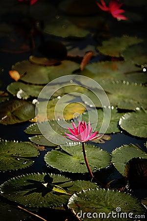 Härlig lotusblomma