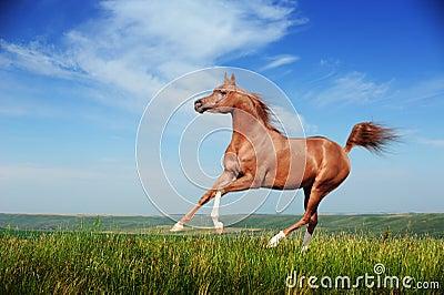 Härlig röd arabisk hästspringgalopp