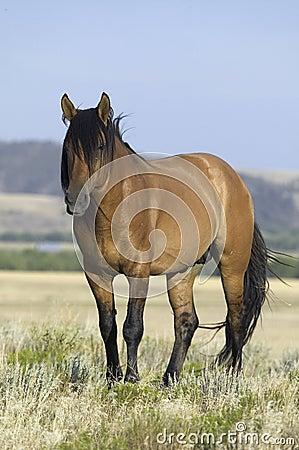 Häst som är bekant som Casanova