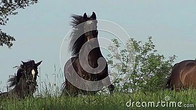 Hästar som fritt galopperar på äng